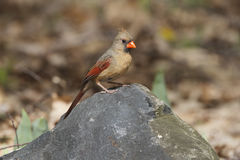 Female Northern Cardinal Royalty Free Stock Images