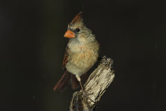 Female Northern Cardinal  (Cardinalis cardinalis). A female northern cardinal stands on a branch during a freezing rain Stock Photography