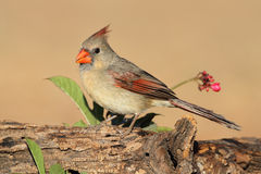 Female Northern Cardinal Stock Photos