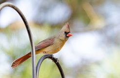 Female Northern Cardinal bird on perch, Athens, Georgia, USA. Female Northern Cardinal, Cardinalis cardinalis, on perch in backyard Athens, Georgia, USA stock images