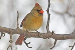 Female Northern Cardinal, Cardinalis cardinalis, perched. A Female Northern Cardinal, Cardinalis cardinalis, perched stock photography