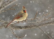 Female Northern Cardinal Cardinalis cardinalis perched in a snow storm. stock photo
