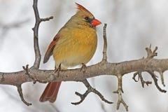 Female Northern Cardinal, Cardinalis cardinalis, perched in tree. A Female Northern Cardinal, Cardinalis cardinalis, perched in tree stock photos
