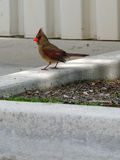 Female Northern Cardinal on Curb Royalty Free Stock Images