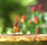 Cute female cardinal at a birdbath. Female Northern Cardinal dipping her toes in a birdbath Royalty Free Stock Image