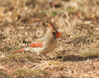 Female Northern Cardinal eating seeds. On the ground in winter royalty free stock photography