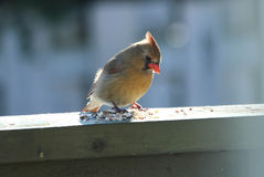 Female Northern Cardinal eating. Seeds. Male cardinals are brilliant red all over. The Female Cardinal however, are pale brown overall with warm reddish tinges royalty free stock photos