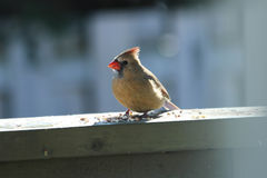 Female Northern Cardinal eating. Seeds. Male cardinals are brilliant red all over. The Female Cardinal however, are pale brown overall with warm reddish tinges stock image