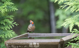 Female Northern Cardinal Royalty Free Stock Photography