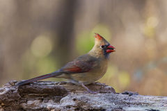 Female Northern Cardinal Royalty Free Stock Photos