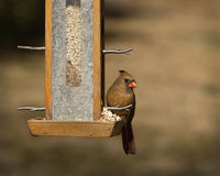 Female Northern Cardinal at Feeder. This is a female northern cardinal, Cardinalis cardinalis, sitting at a feeder, Cornus florida, in Guntersville Alabama USA royalty free stock photography
