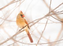 The Female Northern Cardinal. A female Northern Cardinal perched on a branch in Winter Royalty Free Stock Image