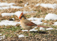 Female Northern Cardinal looking for seeds Royalty Free Stock Photos