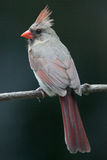 Female Northern Cardinal perched. On branch Royalty Free Stock Photos