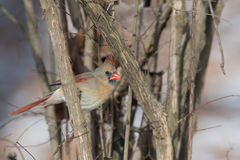 Female northern cardinal in winter. Female northern cardinal perched on a branch in winter Royalty Free Stock Images