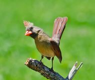 Female Northern Cardinal Perched. A Female Northern Cardinal Perched on Branches in Spring royalty free stock photos
