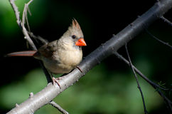 Female Northern Cardinal Perched in a Tree Stock Photo