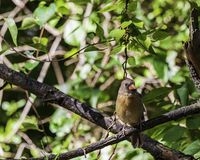 A female northern cardinal perched on a tree limb. A northern cardinal, also known as cardinalis cardinalis perched on a tree limb royalty free stock photo
