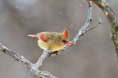 Northern Cardinal - Colorful Bird Background - Surviving America royalty free stock photo