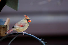 Female Northern Cardinal sitting on a branch Stock Photo
