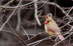 Female Northern Cardinal sitting in branches Royalty Free Stock Photography