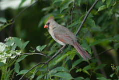 A female northern cardinal. Sitting on a tree branch Royalty Free Stock Image