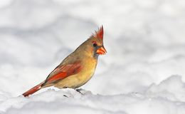 Female northern cardinal in snow Stock Images