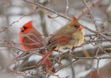 Female Northern Cardinal with snow falling stock images