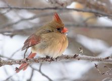 Female Northern Cardinal with snow falling stock photography