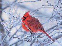 Male Northern Cardinal perched on a frosty branch stock photo