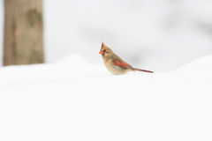 Female Northern Cardinal Stock Photography