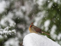 Female Northern Cardinal in Snow Stock Photo