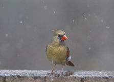 Female northern cardinal in snowstorm stock images