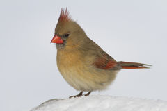 A Female Northern Cardinal stand in the white winter snow. Royalty Free Stock Photos