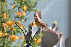 Female northern cardinal standing on a wind catch. Female northern cardinal standing on a garden wind catch Stock Photography