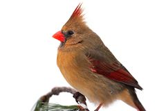 Female Northern Cardinal On White Royalty Free Stock Photography