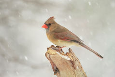 Female Northern Cardinal in Winter Royalty Free Stock Photography