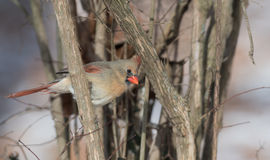 Female northern cardinal in winter. Female northern cardinal perched on a branch in winter Royalty Free Stock Photography