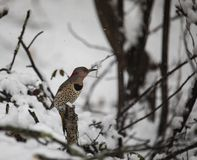 Female Northern Flicker Perched in Snowy Woods royalty free stock images