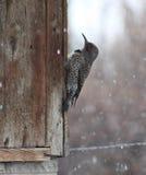 Female Northern flicker woodpecker stock photo
