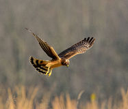 Female Northern Harrier Stock Photo