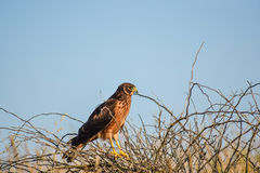 Female Northern Harrier. Royalty Free Stock Photo