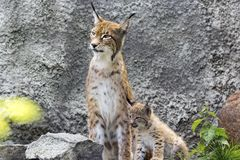 A female of the northern lynx with a brood, in the ruins of a meteorological station in Siberia Royalty Free Stock Photography
