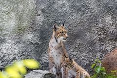 A female of the northern lynx with a brood, in the ruins of a meteorological station in Siberia Royalty Free Stock Image