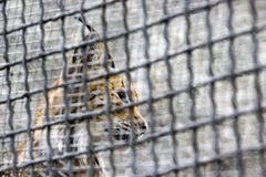 A female of the northern lynx in a cage of animal protectionists Stock Photo
