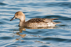 Female Northern Pintail Stock Images