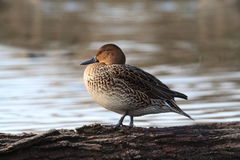 Female Northern Pintail stock photography