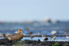 Northern Pintail. Female Northern Pintail standing on a seashore Stock Images
