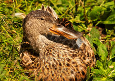 Female Northern Shoveler Duck Royalty Free Stock Image