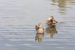 Female Northern shoveler and Green-winged Teal Stock Images